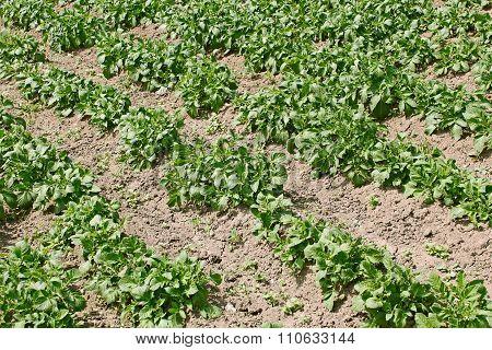 Potato Rows In Garden