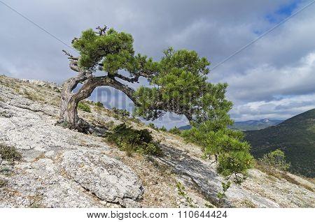 Relict Pine On A Mountainside. Crimea.