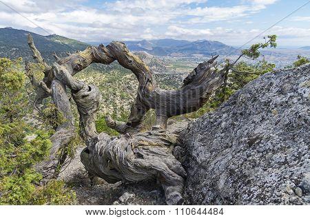 Twisted Trunk Of A Dried Pine. Crimea.