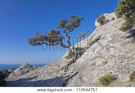 Jjuniper Tree On The Mountainside.