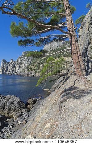 Relic Pine On The Coastal Cliff.