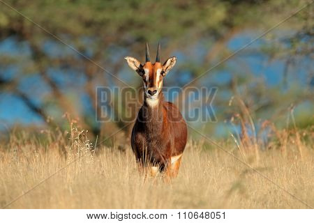 A young sable antelope (Hippotragus niger) in natural habitat, South Africa