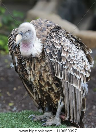 Ruppell's (ruppells) Griffon Vulture (gyps Rueppellii) Sitting.