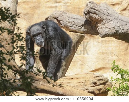 Chimp Freely Moves In The Trees.