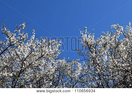Plum Blossoms.
