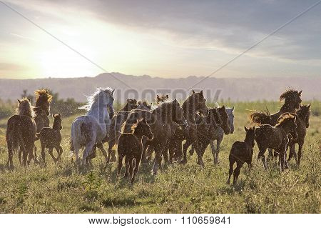 Herd Of  Horses Fast Running On The Field
