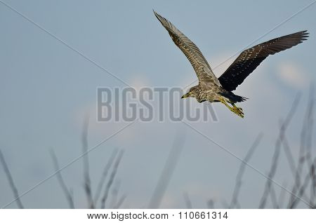 Immature Black-crowned Night Heron Flying Low Over The Marsh