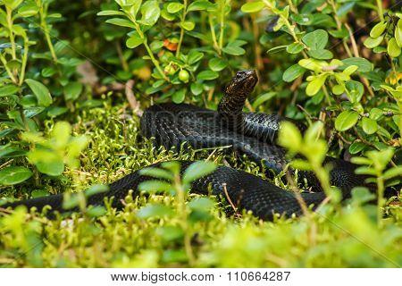 Black Snake Viper