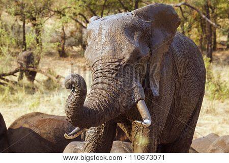 portrait of an African Bush Elephant In Kruger National Park