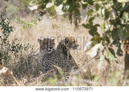 two Cheetahs in savannah In Kruger National Park