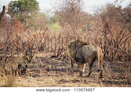Lion walking in the bush In Kruger National Park