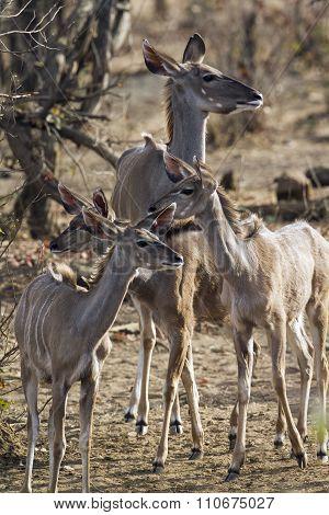 family of Nyala In Kruger National Park