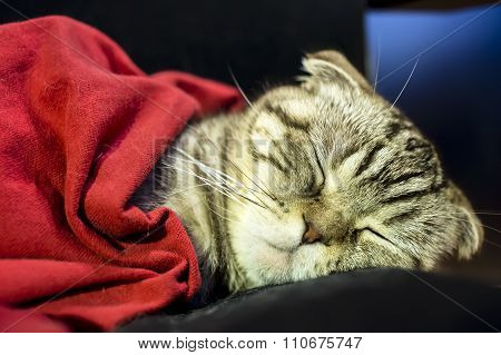 Scottish Fold Cat  Sweetly Sleeps Under A Red Blanket