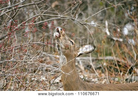 female deer eating berries