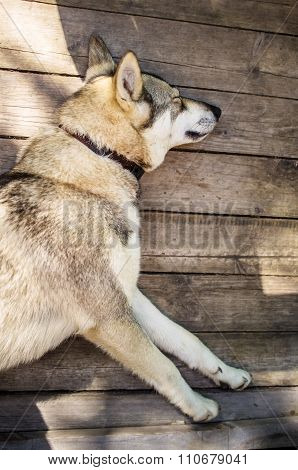 Dog Is Sleeping On Boards