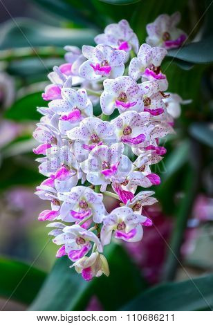 Rhynchostylis gigantea shine color in a flower garden