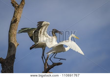 Wood Stork And Great Egret Battling Over A Perch