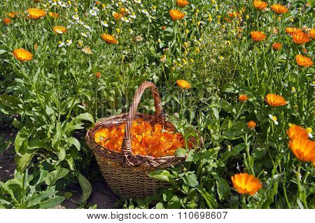 Freshly Picked Calendula Blossoms In Wicker Basket In The Garden