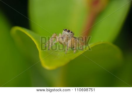 Photo Macro On Jumper Spider On Leaf With Green Background