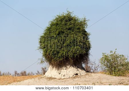 Termite Mound Overgrown With Green Bush