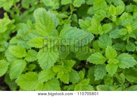 Closeup photo of Lemon balm plant (Melissa officinalis) in the garden