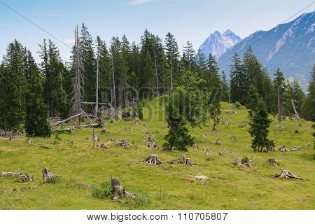 View of the pine tree forest with trees being cut down during summer in Europe