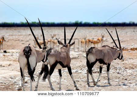 3 Gemsbok Oryx on the Etosha Plains