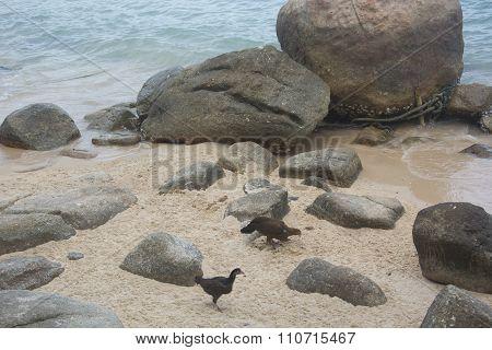 Hens at a Beach in Thailand