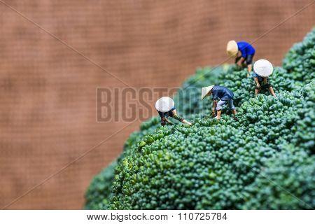 Asian Peasants Harvesting Broccoli.