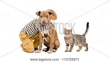 Affectionate boy, pitbull puppy and a cat Scottish Straight