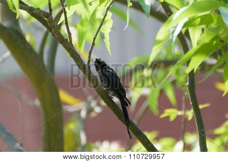 Black Drongo Bird On A Tree