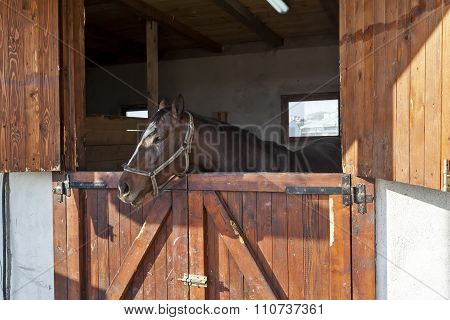 English Thoroughbred Racehorse In Box 04