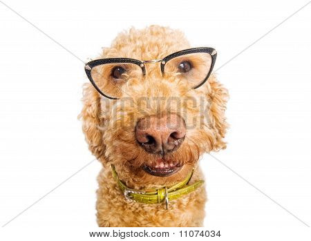 Dog with glasses portrait