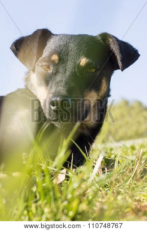 Artistic Portrait Of Black Mix Breed Dog With Grass In Front Of The Camera