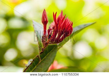 Close up Ixora flower in the garden