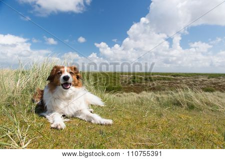 Kooikerhondje laying in landscape at Dutch wadden island Terschelling