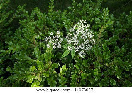 Snow-On-The-Mountain Flower