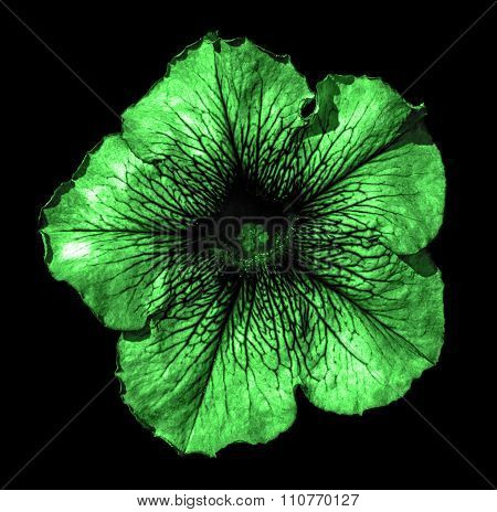 Surreal Dark Chrome Green Althea Flower Macro Isolated On Black