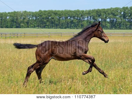 A little foal galloping on the field
