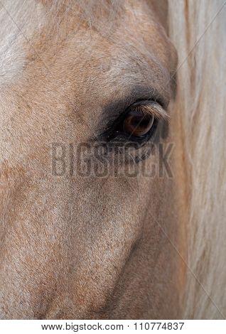 Open eye of palomino horse