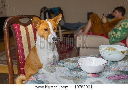 Basenji is patiently waiting for the master-waiter would place true canine food on the table