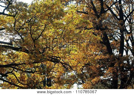 Autumn Tall Broad-crowned Golden-leaved Trees
