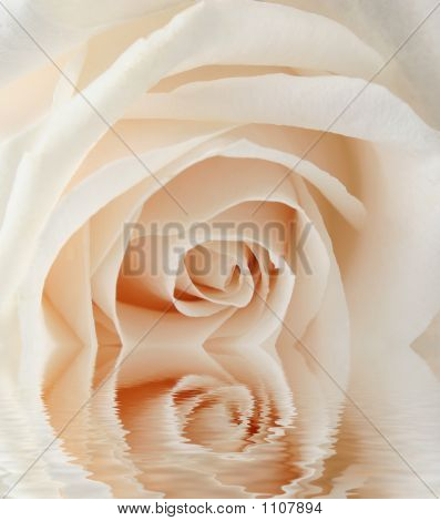 White Rose With Water
