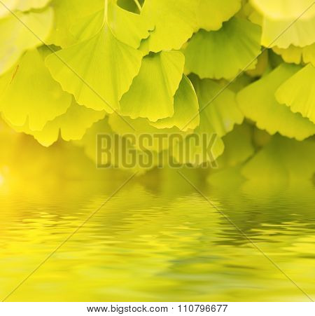 Leaves of Gingko Biloba