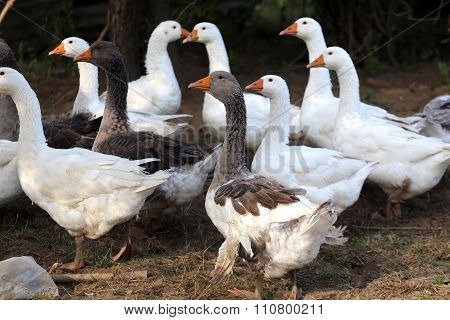 Grey And White Domestic Gooses On Poultry Farm