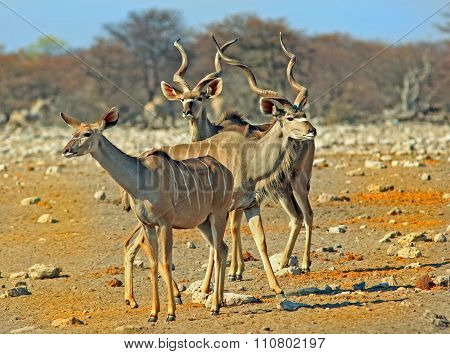A herd of Kudu on the dusty plains in Etosha