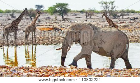 A lone elephant at a waterhole with giraffe in the background