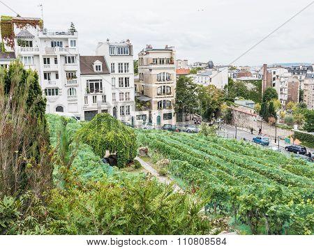 Montmartre Vineyard Viewed From Renoir Gardens, Paris