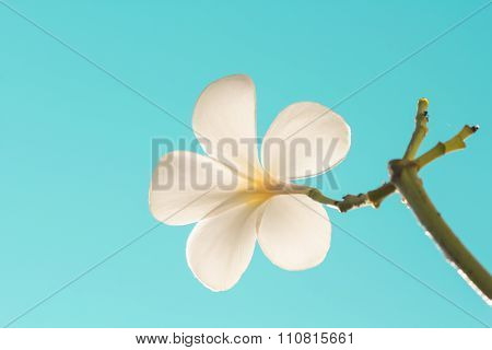 Selective Focus Of  Plumeria Flowers  And Sky