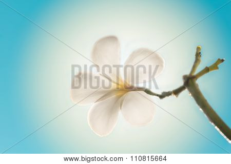 Selective Focus Of  Plumeria Flowers  And Light Effect